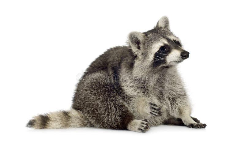 Raccoon (9 mesi) - lotor del Procyon fotografia stock