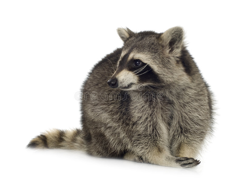 Raccoon (9 months) - Procyon lotor. In front of a white background royalty free stock photography