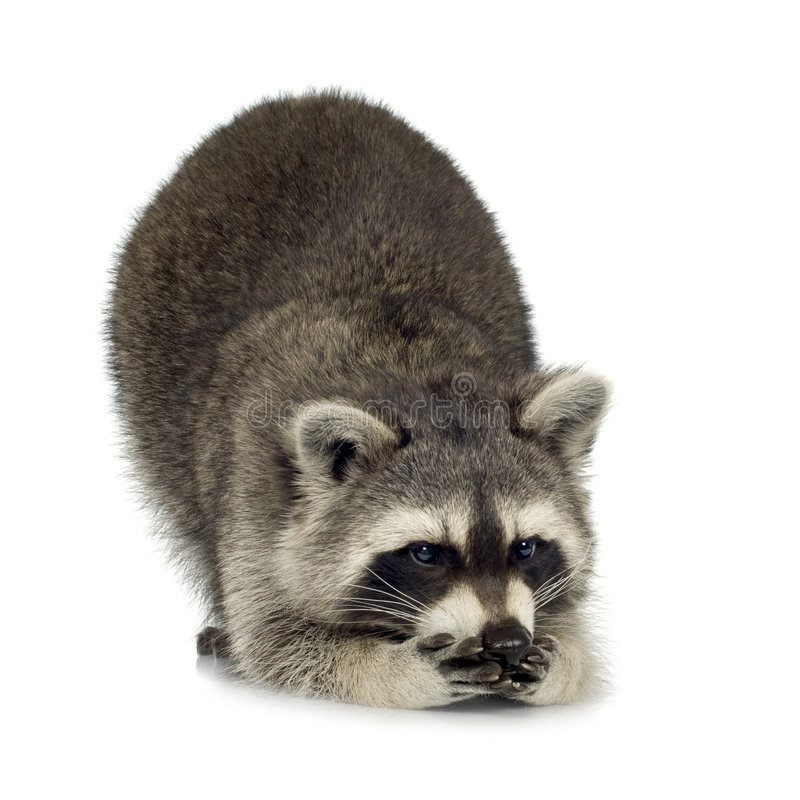 Raccoon (9 months) - Procyon lotor royalty free stock image