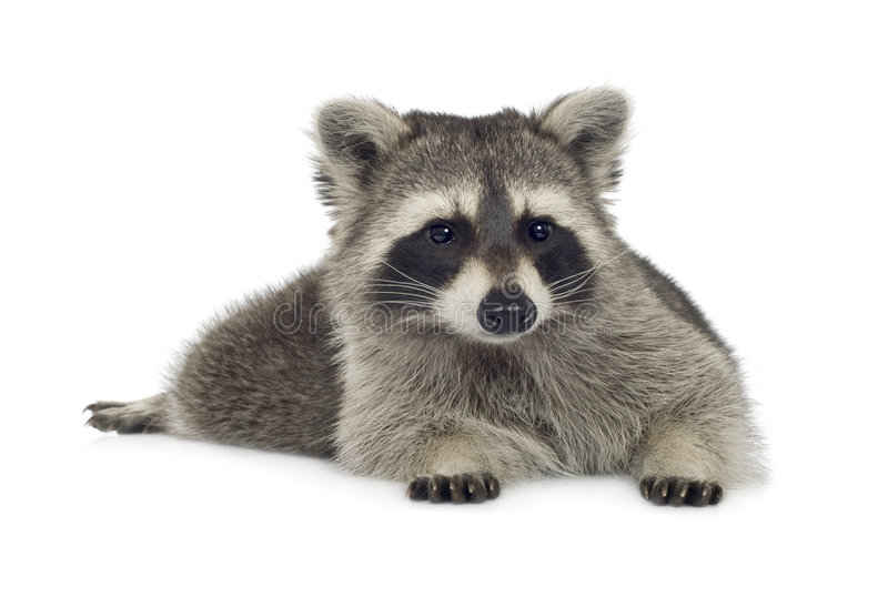 Raccoon (9 months) - Procyon lotor. In front of a white background stock photos