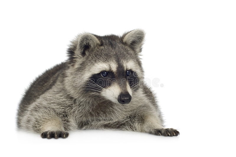 Raccoon (9 months) - Procyon lotor. In front of a white background stock photo