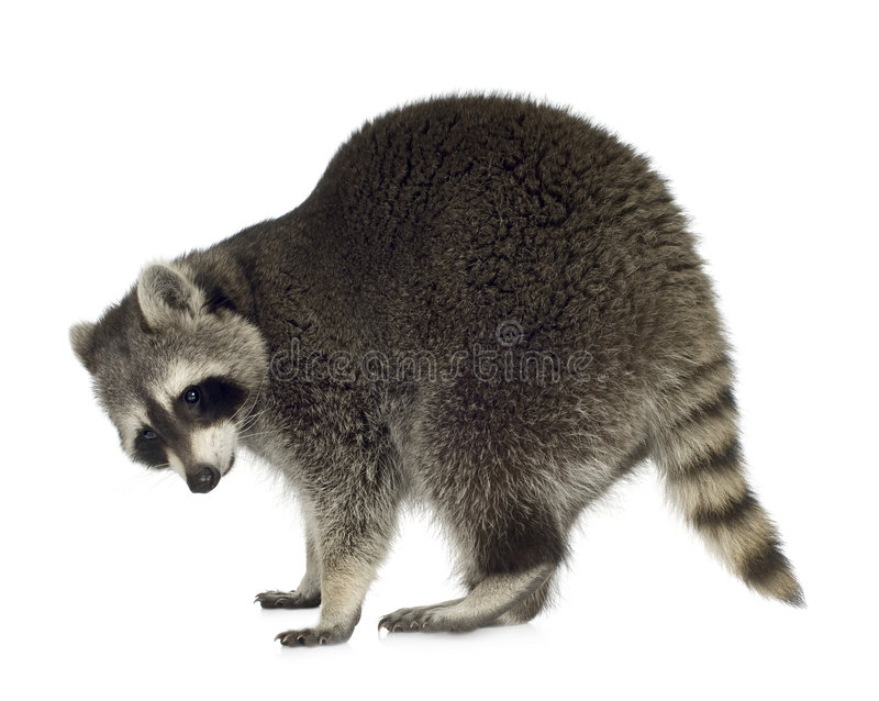 Raccoon (9 months) - Procyon lotor. In front of a white background royalty free stock image