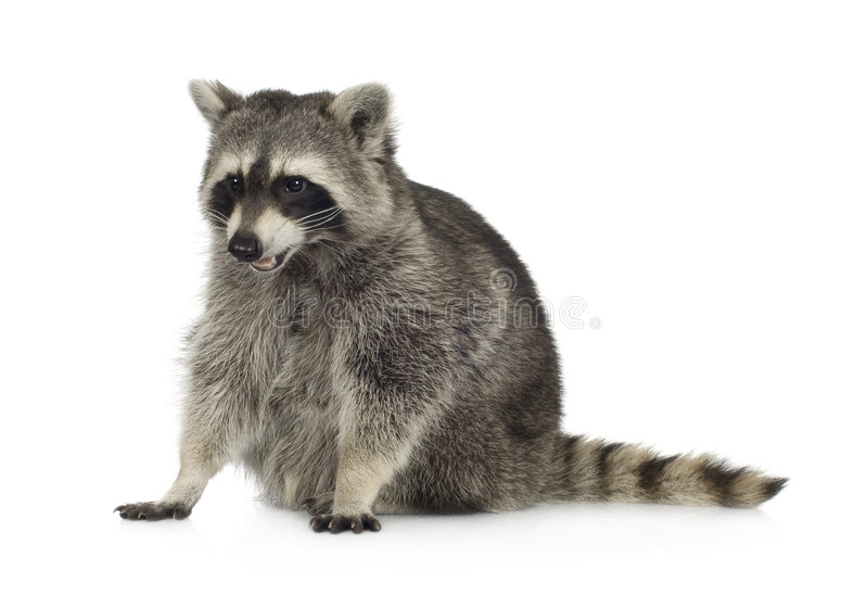 Raccoon (9 months) - Procyon lotor. In front of a white background royalty free stock photo