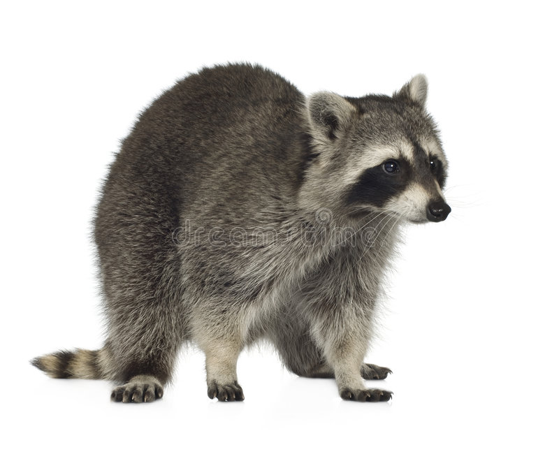 Download Raccoon (9 Months) -  Procyon Lotor Stock Image - Image: 4610187