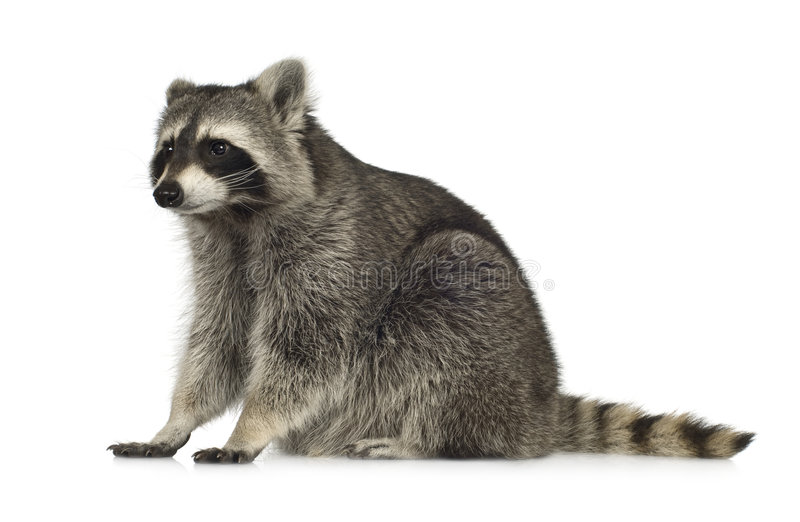 Raccoon (9 months) - Procyon lotor stock photo