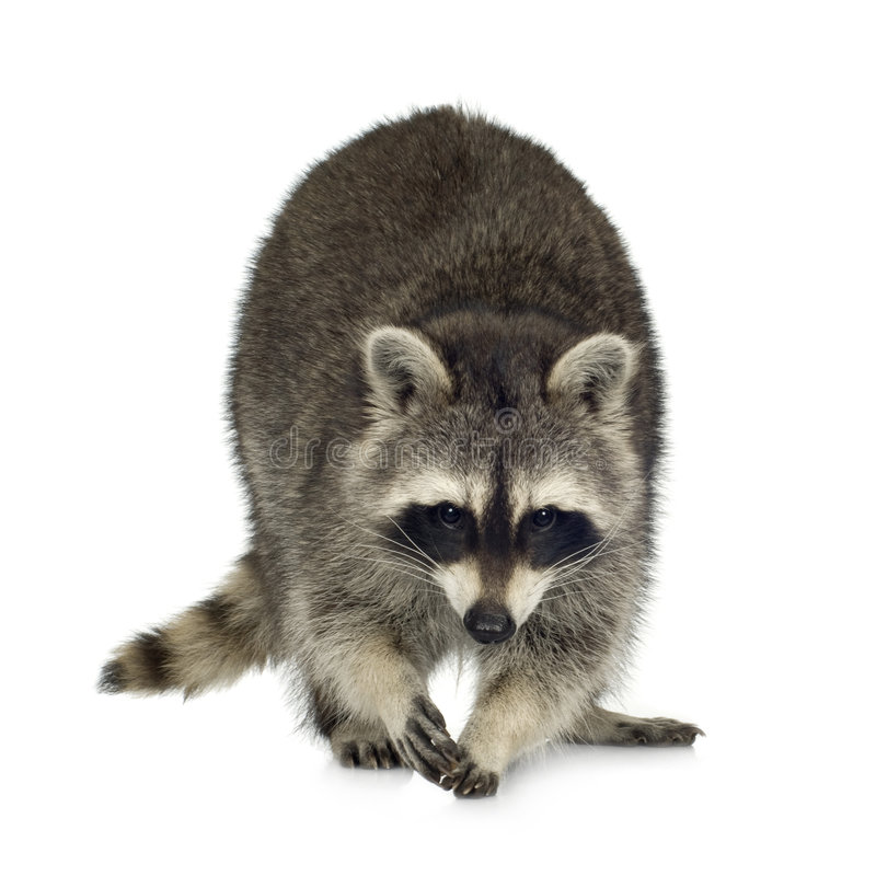 Raccoon (9 months) - Procyon lotor. In front of a white background stock images