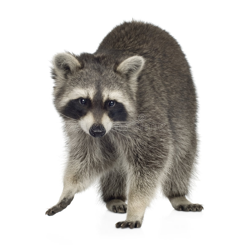 Raccoon (9 months) - Procyon lotor. In front of a white background stock photography