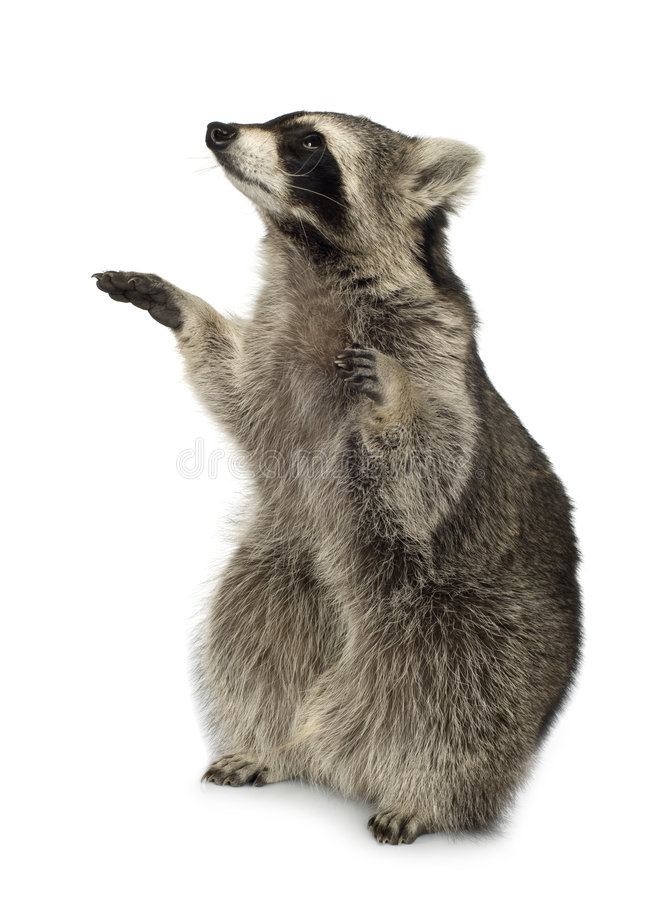 Raccoon (9 months) - Procyon lotor stock image