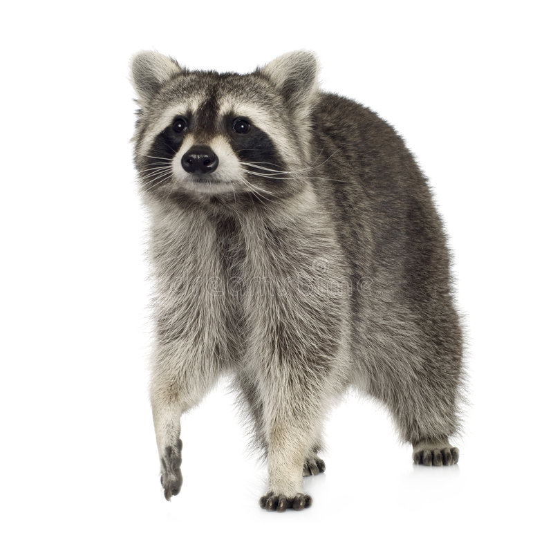 Raccoon (9 months) - Procyon lotor. In front of a white background royalty free stock photos