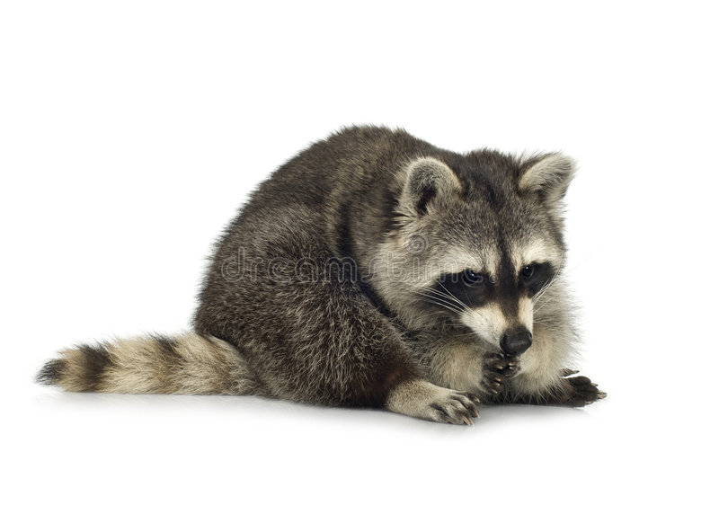 Raccoon (9 months) - Procyon lotor. In front of a white background stock image