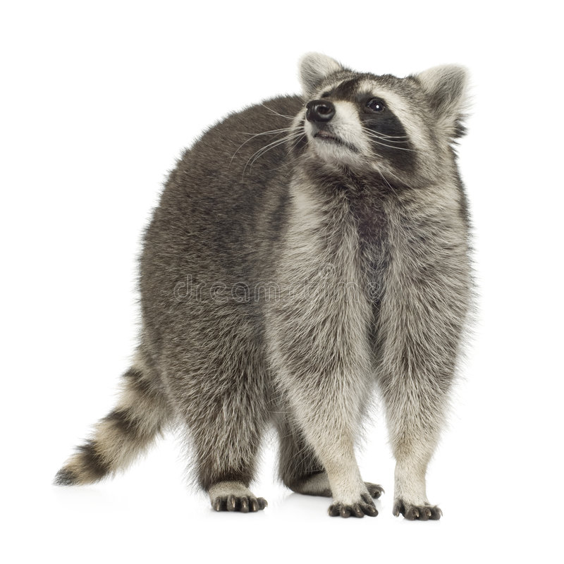 Raccoon (9 months) - Procyon lotor royalty free stock photos