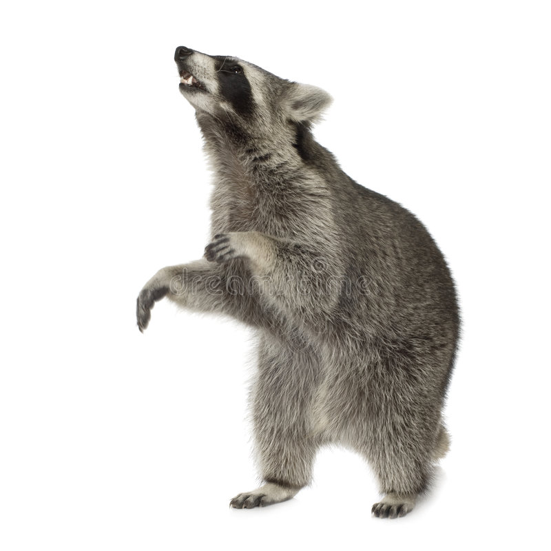 Raccoon (9 months) - Procyon lotor. In front of a white background royalty free stock images