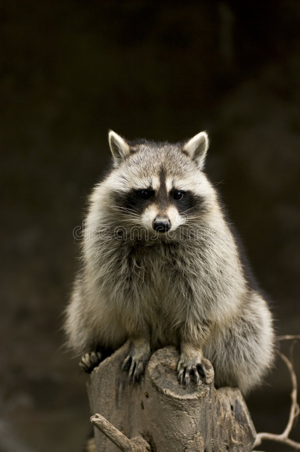 raccoon royaltyfri foto
