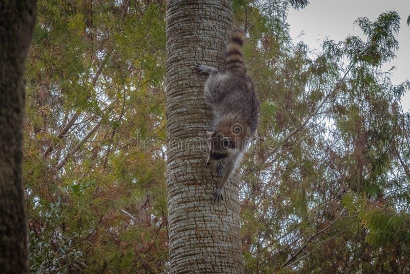 raccoon stockbilder