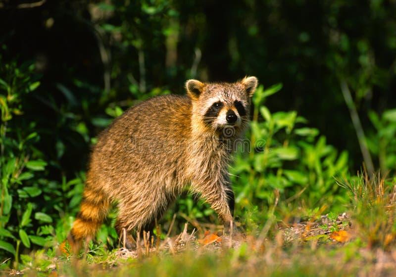 Raccoon alerta imagens de stock