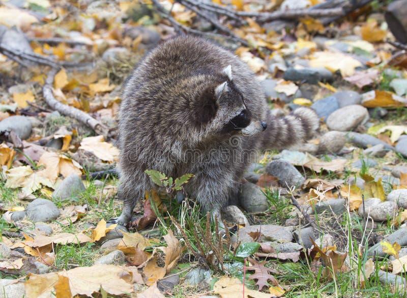 Raccoon stock fotografie