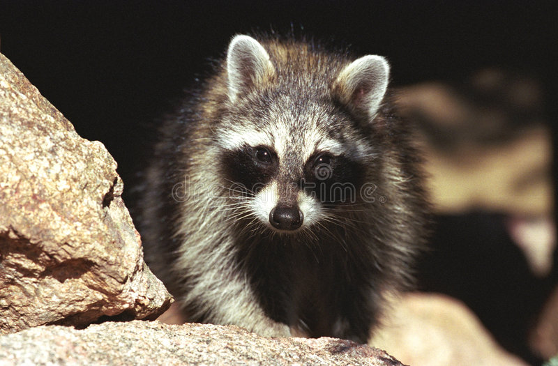 Raccoon atento fotografia de stock royalty free