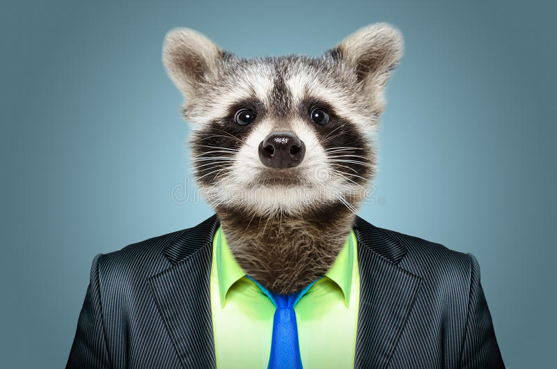 Raccoon in a business suit stock images