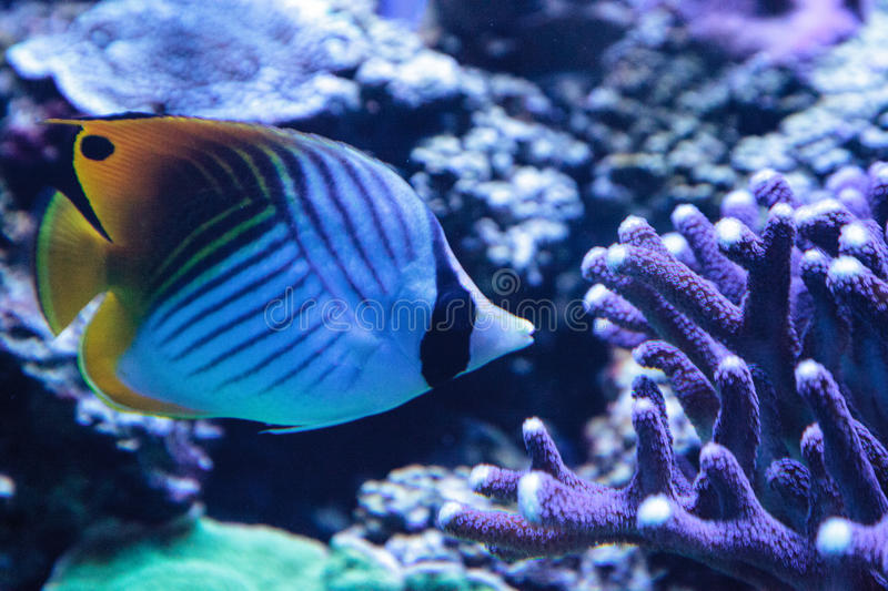 Raccoon butterflyfish Chaetodon lunula. Is found in the Indo-Pacific region royalty free stock image