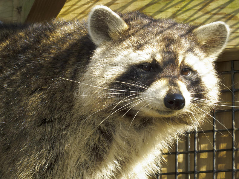 Download Raccoon - Caged stock image. Image of band, center, american - 22983643