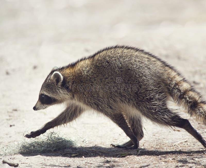 Raccoon caminhando no parque da Flórida imagem de stock royalty free