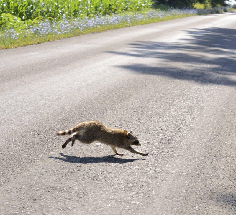 Raccoon che attraversa la strada fotografia stock