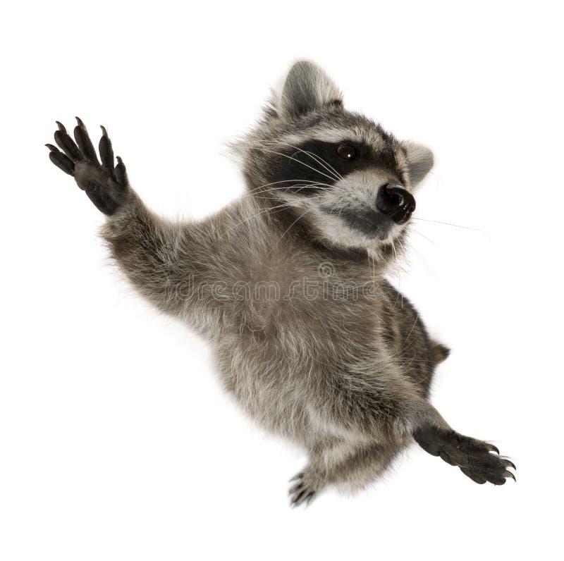 Raccoon che si leva in piedi sui piedini posteriori fotografie stock