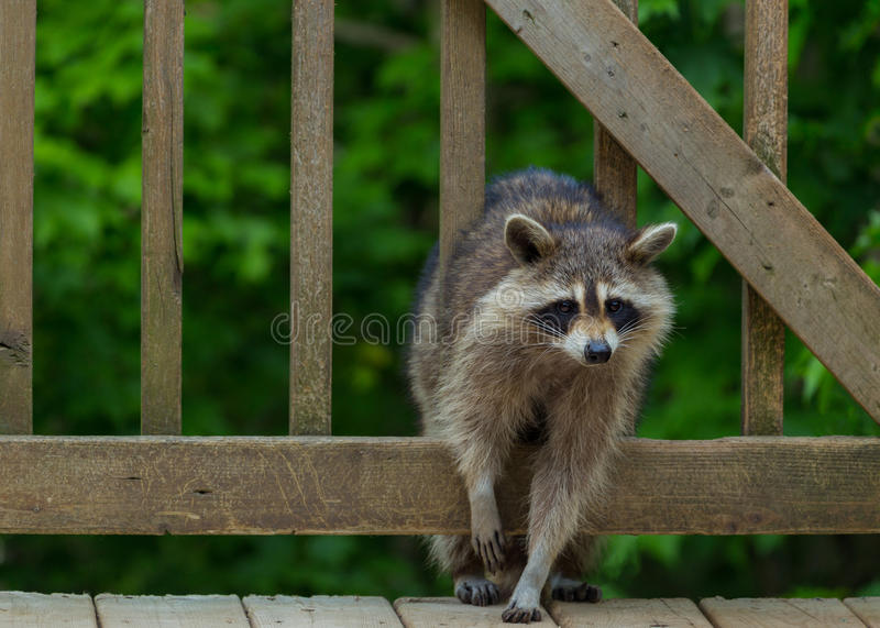 Raccoon Climbing through Railing on Back Deck stock images