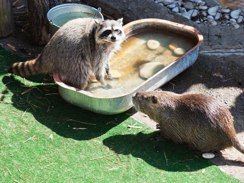 Raccoon and coypu stock photo