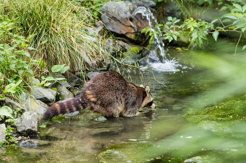 Raccoon in a creek stock images