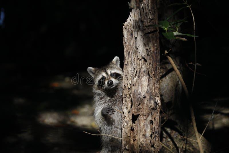 Raccoon curioso imagem de stock royalty free