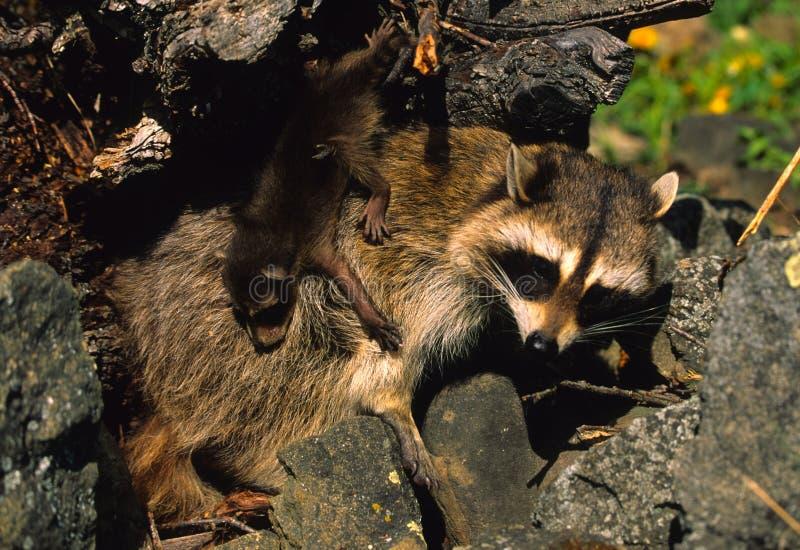 Raccoon da matriz com bebê fotografia de stock