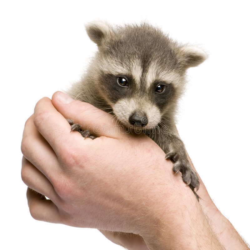 Raccoon del bambino (6 settimane) - lotor del Procyon fotografia stock libera da diritti