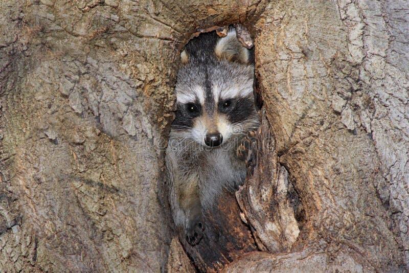 Raccoon del bambino (lotor del Procyon) immagine stock libera da diritti