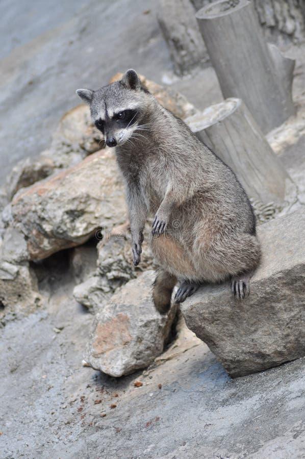 Raccoon di Skiny fotografia stock