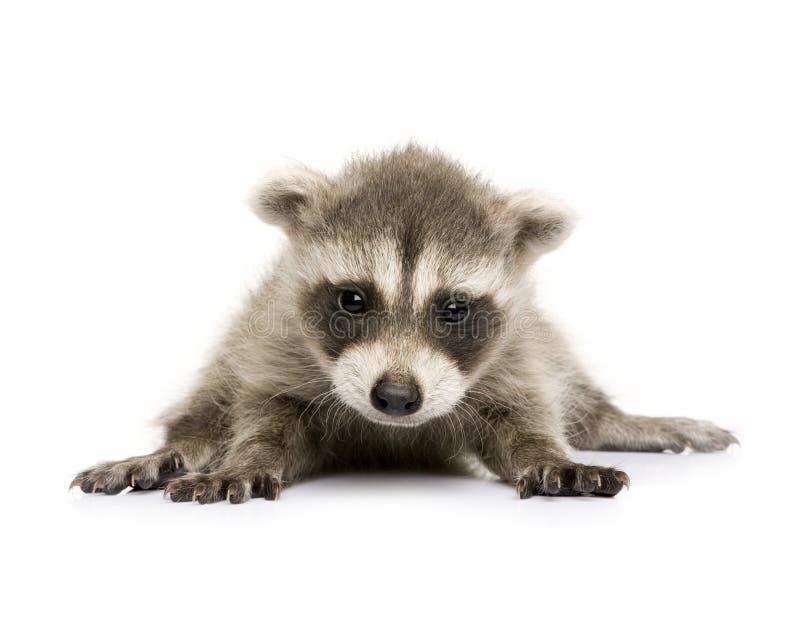 Raccoon do bebê (6 semanas) - lotor do Procyon imagem de stock