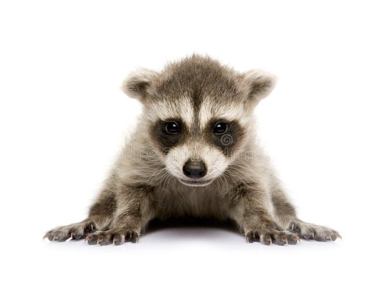 Raccoon do bebê (6 semanas) - lotor do Procyon imagem de stock royalty free