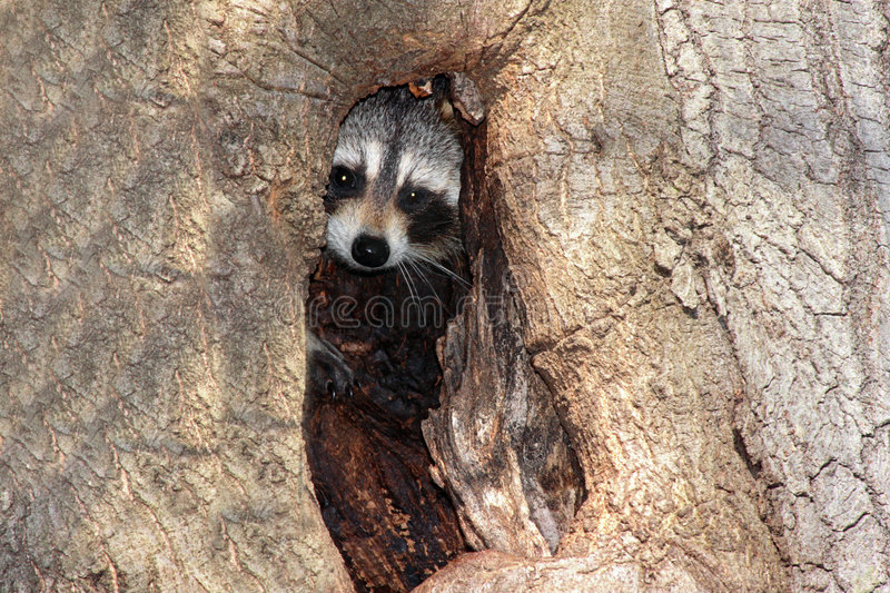 Raccoon do bebê (lotor do Procyon) foto de stock royalty free