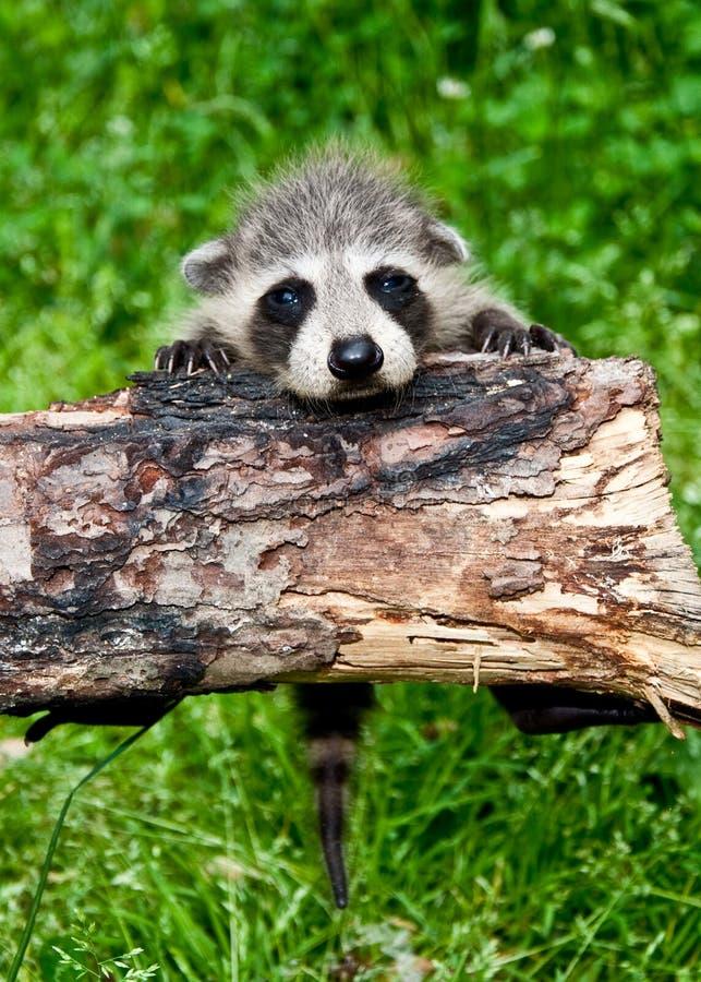Raccoon do bebê que aprende escalar. imagens de stock royalty free