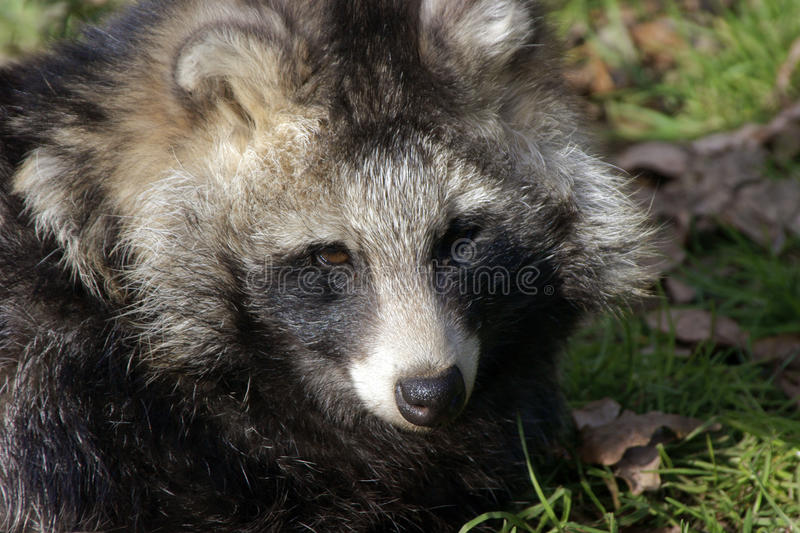 Raccoon Dog stock photography