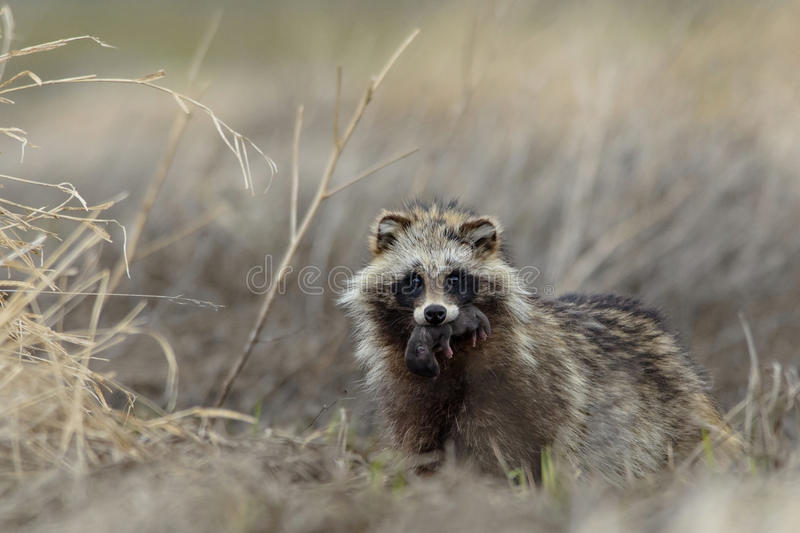 Raccoon dog mother with cub royalty free stock images
