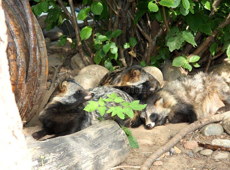 Raccoon dogs royalty free stock photos
