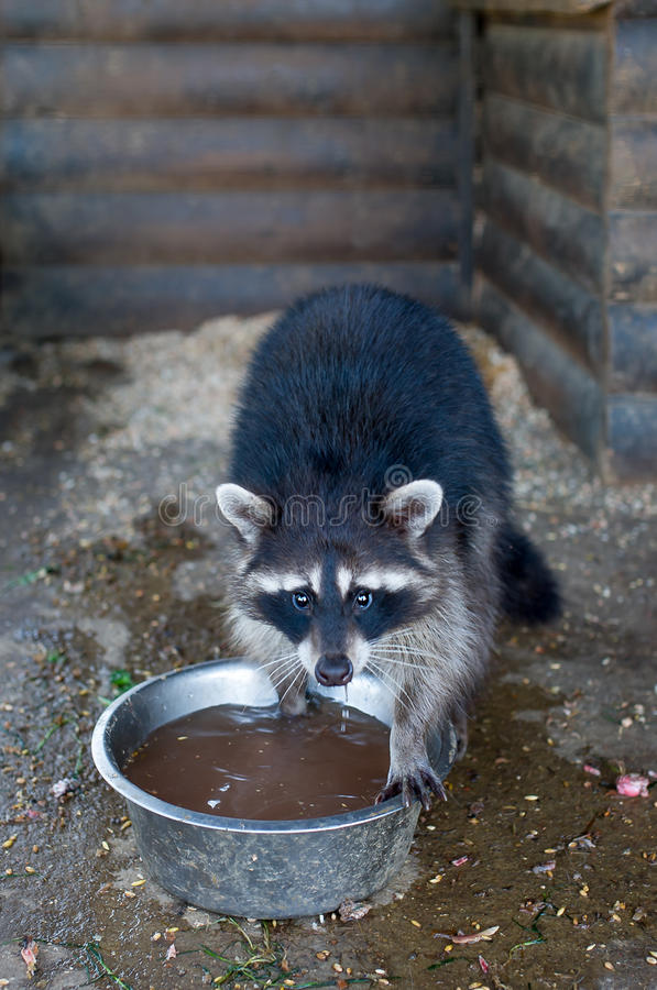 The raccoon drinks water from a bowl. stock photos