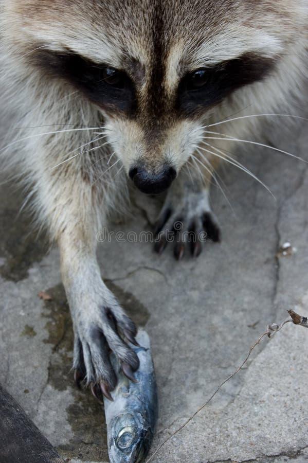 Raccoon e peixes fotos de stock