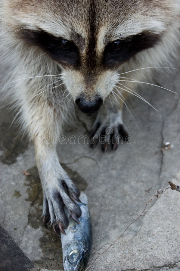Raccoon and fish stock photos