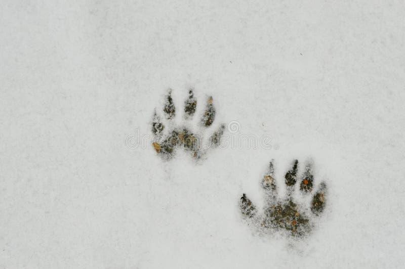 Raccoon Footprints in the Snow stock photos