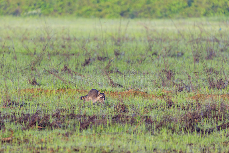 A raccoon foraging for breakfast in the early hours of the morning at Bald Knob Wildlife Refuge stock photo
