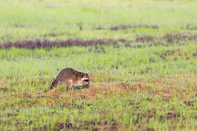 A raccoon foraging for breakfast in the early hours of the morning at Bald Knob Wildlife Refuge stock image