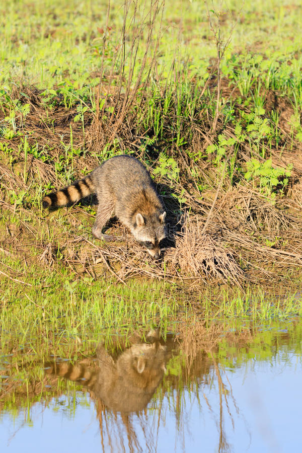 A raccoon foraging for breakfast in the early hours of the morning at Bald Knob Wildlife Refuge. In Bald Knob, Arkansas royalty free stock photography