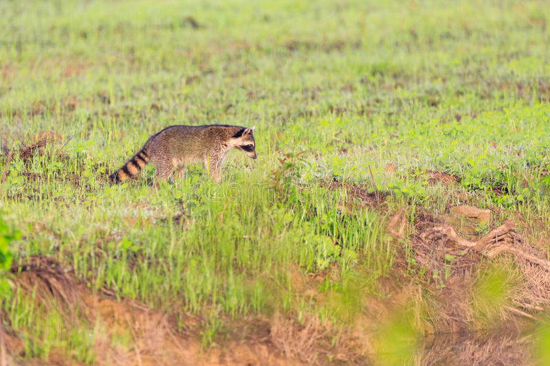 A raccoon foraging for breakfast in the early hours of the morning at Bald Knob Wildlife Refuge. In Bald Knob, Arkansas stock images